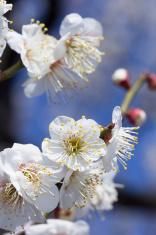 Flower of white plum