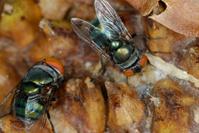 Muscidae Flies