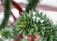 """Monkey tree"" branch (araucaria) under the snow"