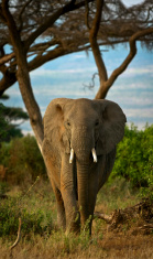 African elephant walking towards viewer