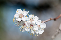 background branch with flowers of cherry