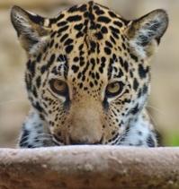 Baby Jaguar Face