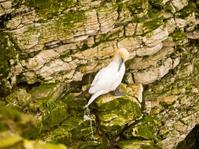 Gannets sitting on cliffs