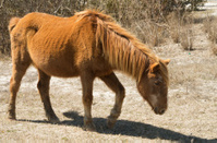 Assataque Pony