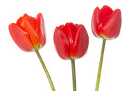 Three red tulips on white background