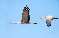 Sandhill Crane & Colt in Flight - Arizona
