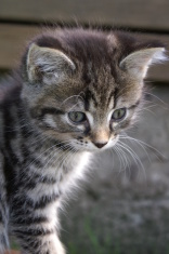 curios kitten