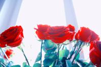bright multicolour roses