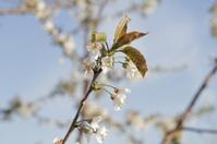 Cherry Tree White Flower Blossom