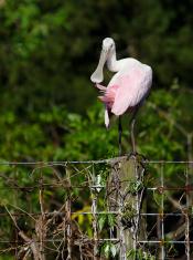 Preening Spoonbill on Fence