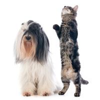 tibetan terrier and cat