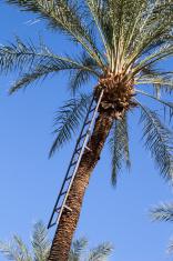 Date Palm Ladder