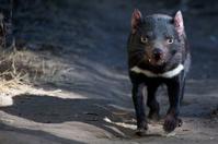 Tasmania Devils ( Sarcophilus harrissii )