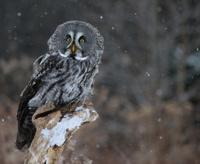 Startled Great Grey Owl