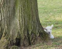 Newly Born Lamb.