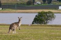 kangaroo  watching