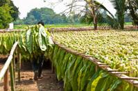 Drying tobacco leaf.