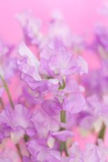 Sweet pea flowers