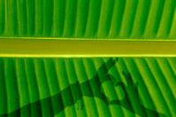 Banana leaf, shadow of human hand, shape of heart