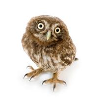Young owl (4 weeks)