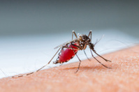 Mosquito sucking blood_set B-4