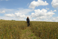 Footpath Through Crops, Vale of Evesham