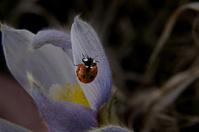 lady bug &crocus flower