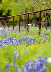 Texas wild flowers in bloom