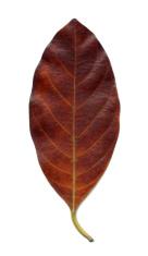 Dry leaves brown