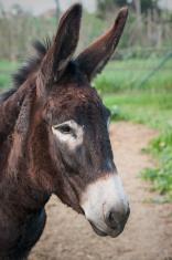 Portrait donkey