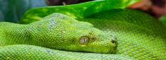 Panoramic green python