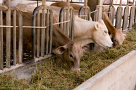 cows at barn stall in farm