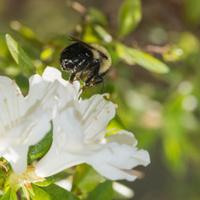 White Azalea with bee