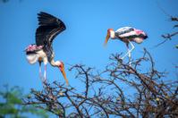 Painted storks building nest
