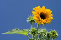 Sunflower Closeup Against a Blue Sky, Vivid Colors