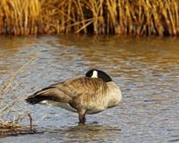 Canada Goose Horizontal Standing in Water