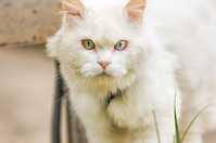 unique double color eye White cat watching