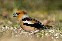 Hawfinch's Back
