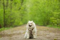 beautiful Samoyed in the woods