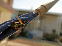 wasp on a flag