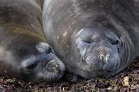 Robben und Seehunde in der Antarktis