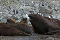 Seeelefanten in der Antarktis