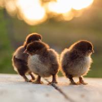 Partridge cochin baby chicks