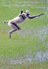 Langur monkey jumps, Yala, Sri Lanka
