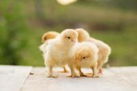 Buff cochin bantam chicks