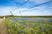 Bluebonnet field in Texas spring