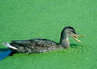 Duck feeding on algae in pond