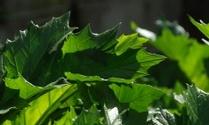 acanthus plant