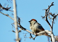 Gray sparrow