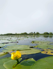 Yellow pond lily (Nuphar luteum)